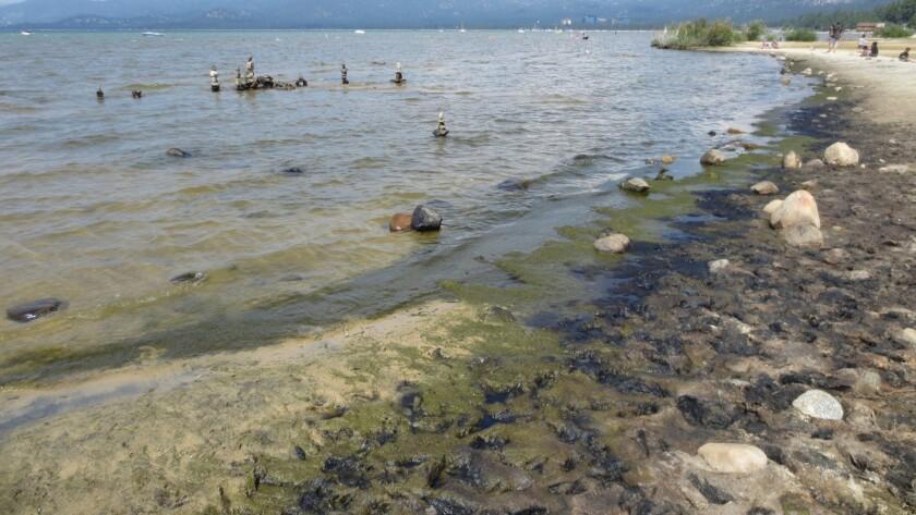 Algae grows along the south shore of Lake Tahoe.