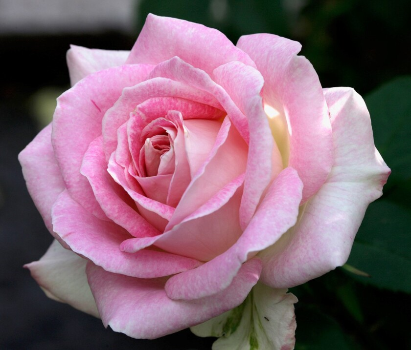 """""""Painted Porcelain"""" is a hybrid tea rose in pink, with cream reverse."""