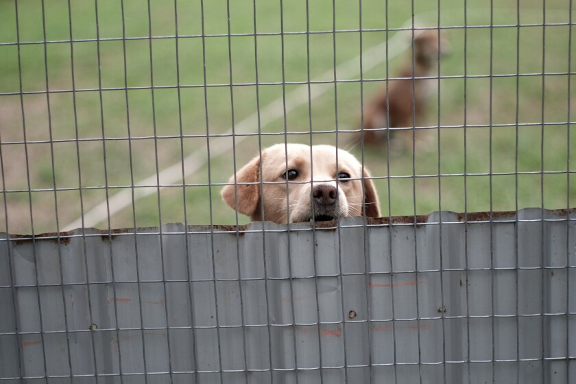 A rescued street dog at an animal shelter in Tomohon, Indonesia