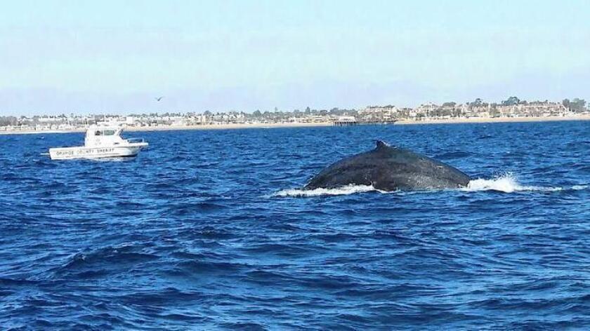 Rescatistas lograron cortar la línea de pesca enredada en la cola de una ballena jorobada que se encontraba el sábado cerca de la costa de La Jolla.