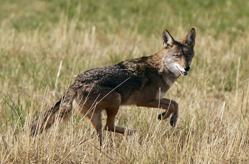 Coyote encounters may have increased recently due to hotter seasonal weather, housing development and last year's fire season.