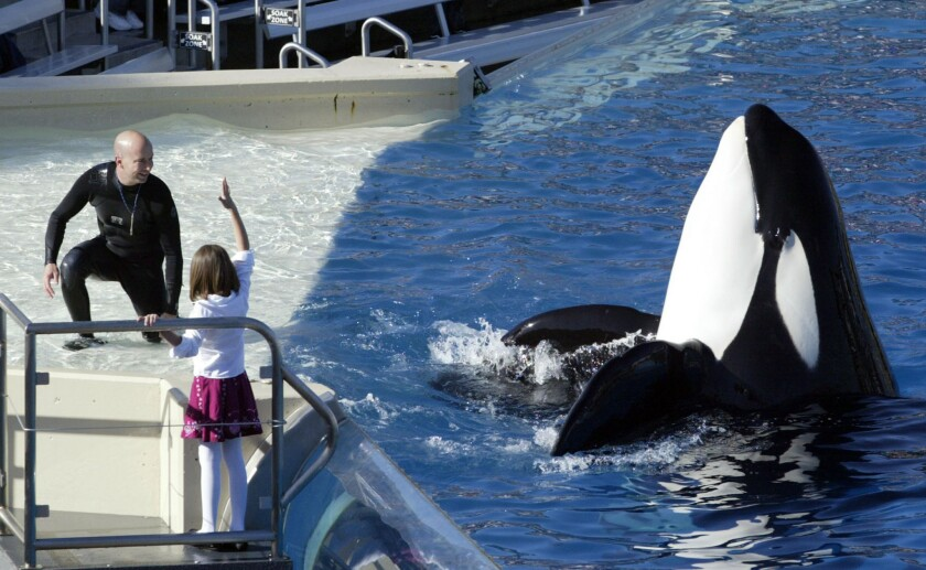 A killer whale performance at SeaWorld San Diego.