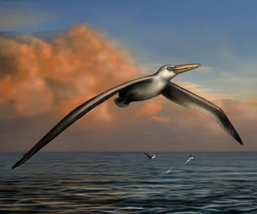 Pelagornis sandersi, largest flying bird