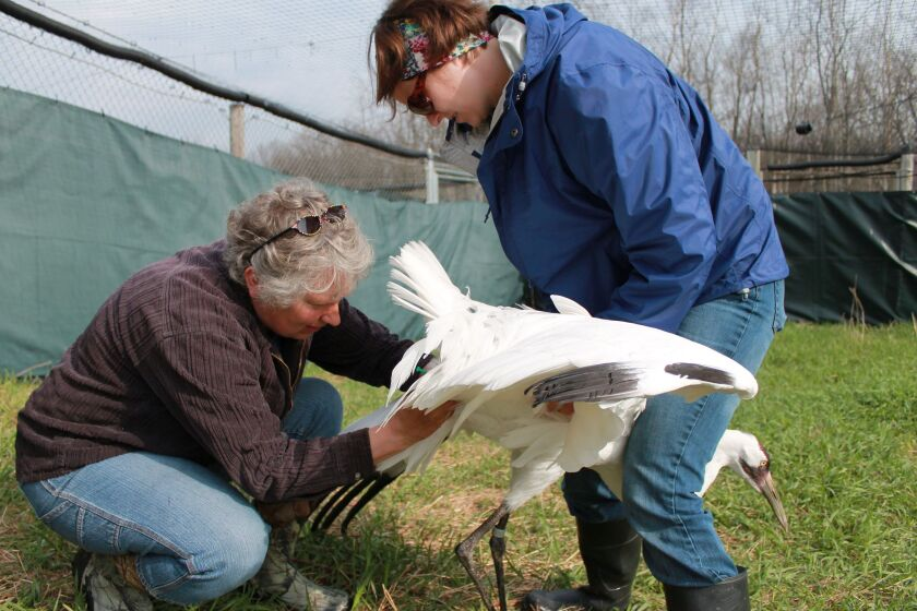 In this May 11, 2014 photo provided by the International Crane Foundation, curator of birds Kim Boardman holds an endangered whooping crane, while senior aviculturist Marianne Wellington performs artificial insemination. The foundation is not using the technique this year because foundation officials feel it would go against COVID-19 social distancing guidelines. This is among reasons that far fewer young whooping cranes than usual will be released into the wiild this fall to help bring back the world's rarest crane. (International Crane Foundation via AP)