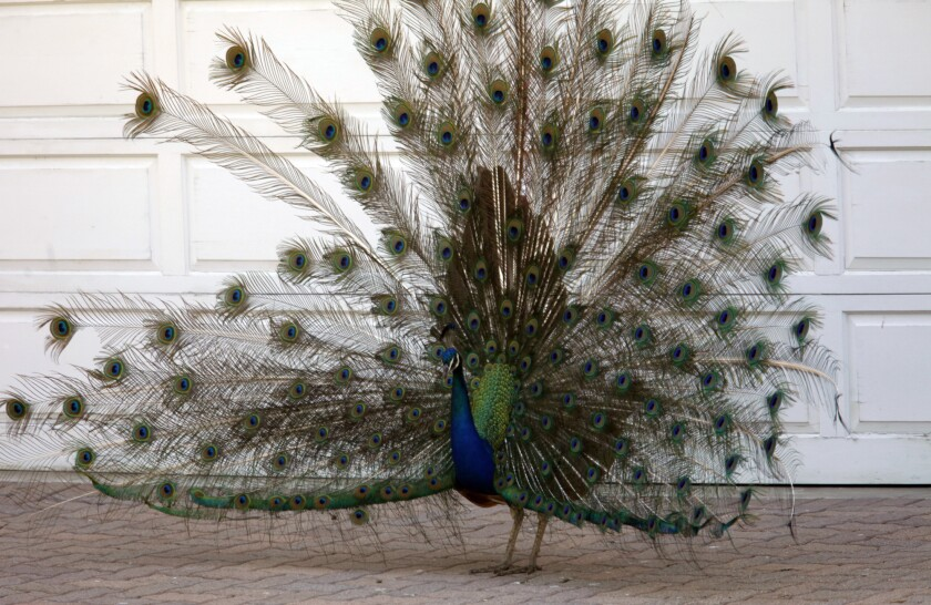 A peacock makes his presence known in front of a parking garage door of a home along Dapplegray Lane in Palos Verdes in June 2014.