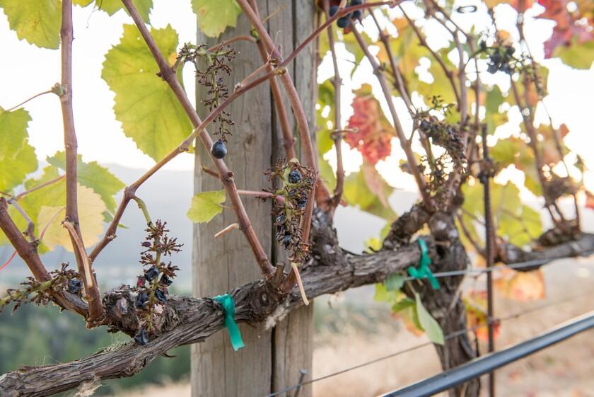 Grape vine at Navarro Vineyards