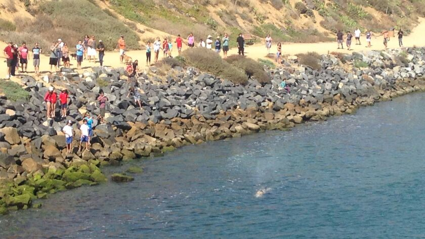People line up on the bank of Agua Hedionda Lagoon to see a gray whale on Monday afternoon.