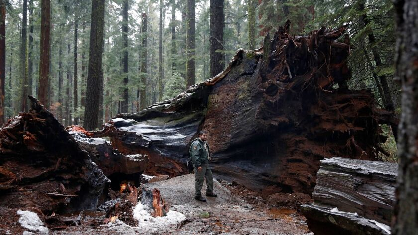 California State Parks Supervising Ranger Tony Tealdi pauses by the roots of the fallen tree.