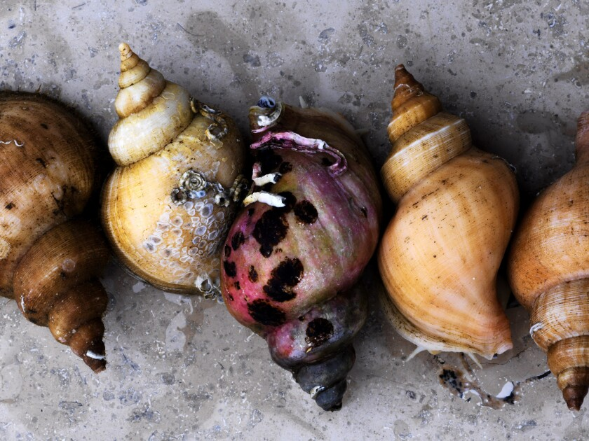 Sea snails from the Faroe Islands are used for a bouillon sipped from the shell that is served at Noma Copenhagen.