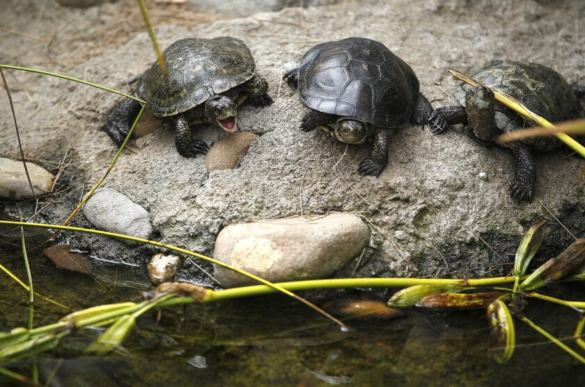 Western pond turtles, including these three, continue to be raised by the San Diego Zoo for a restoration program. / photo by John Gastaldo * U-T San Diego