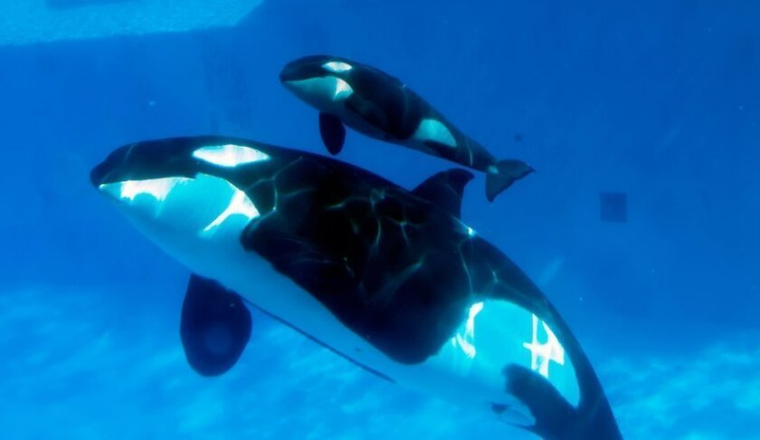 SeaWorld San Diego announced the birth of a baby killer whale, the sixth successful killer whale birth in the parks nearly 49-year history. Kasatka, estimated to be 37, gave birth at Shamu Stadium on Feb. 14, 2013. Photo Seaworld.