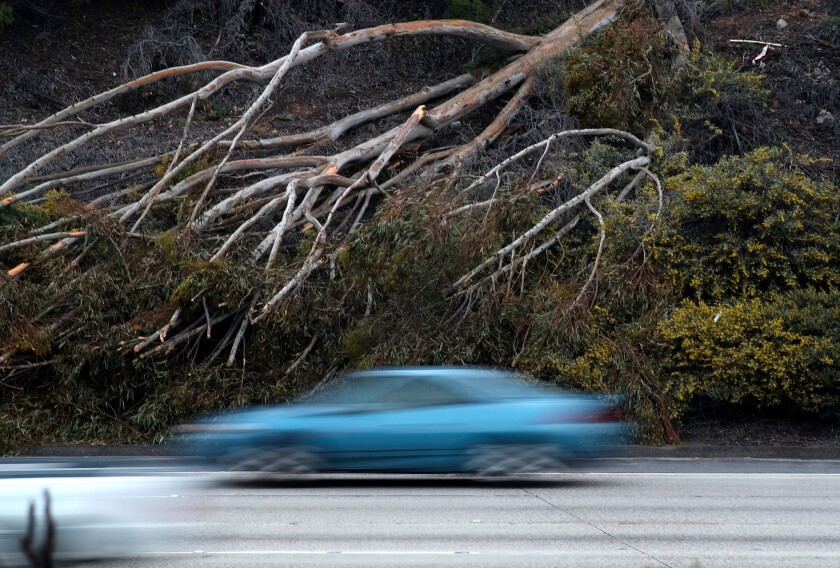Vehicles zoom past a fallen tree Saturday on the northbound I-405 near the Imperial Avenue exit.