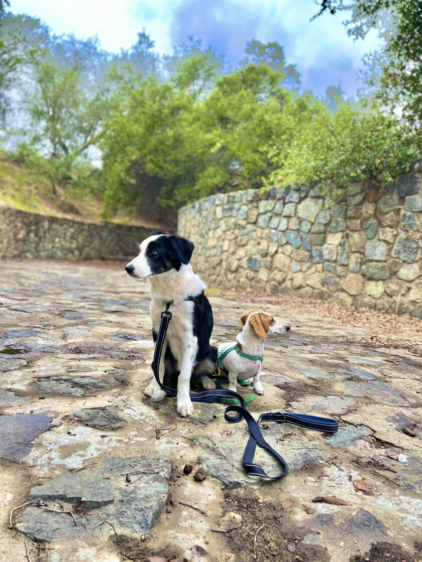 Carrie Mcnulty's puppies, Daisy the border collie and Ace the mini-dachshund, watch the birds in the trees at Dos Picos Park.