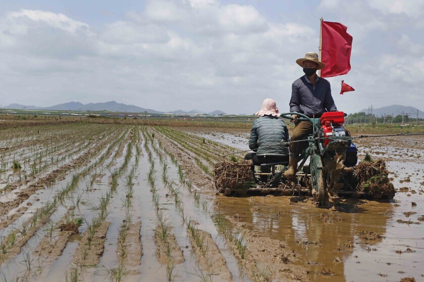 FILE - In this May 25, 2021, file photo, farmers plant rice at the Namsa Co-op Farm of Rangnang District in Pyongyang, North Korea. North Korea is releasing emergency military rice reserves as its food shortage worsens, South Korea's spy agency said Tuesday, Aug. 3, 2021, with a heat wave and drought reducing the country's supply. (AP Photo/Jon Chol Jin, File)