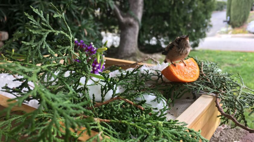 Baby hummingbird atop a wedge of orange in her new home.