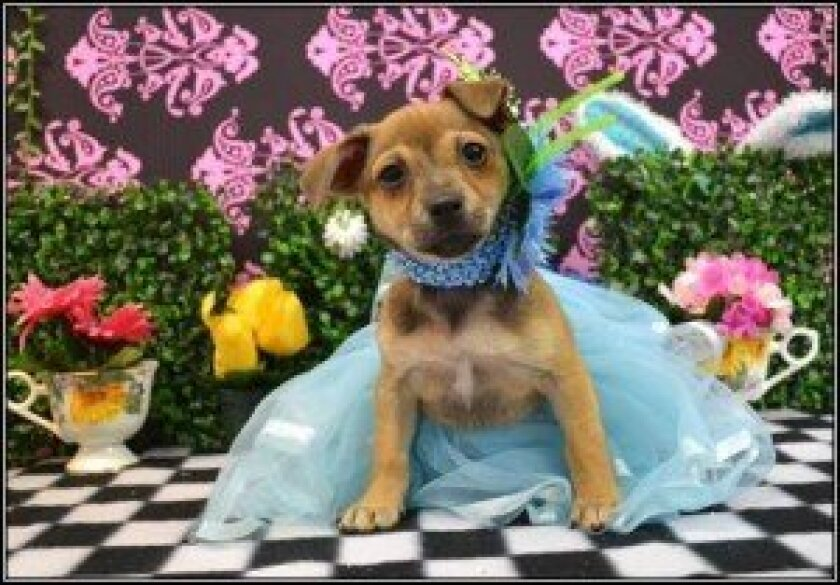 A Helen Woodward Animal Center adoptable puppy — Alice. Courtesy photo