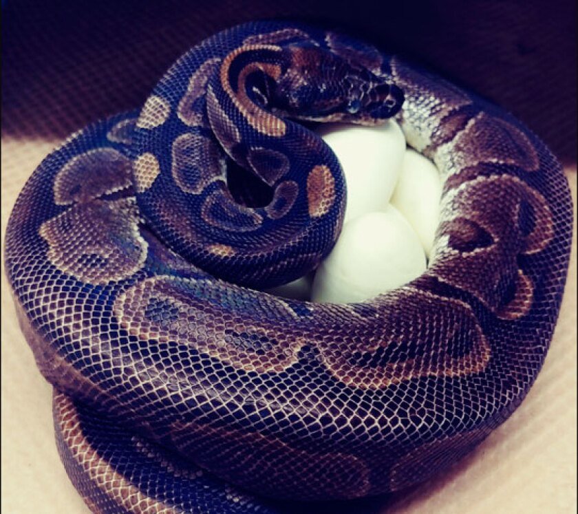 A 62-year-old ball python at the St. Louis Zoo laid eggs on July 23.