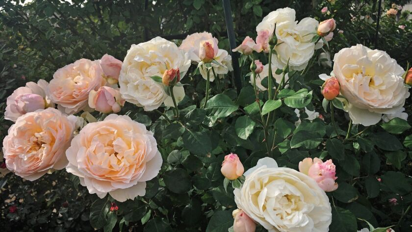 Moonlight in Paris is a shrub rose with huge fragrant blooms in a delicate blend of apricot, cream and soft pink.