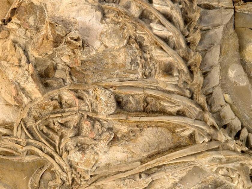 Fotografía de archivo de un fósil de dinosaurio . EFE/Archivo