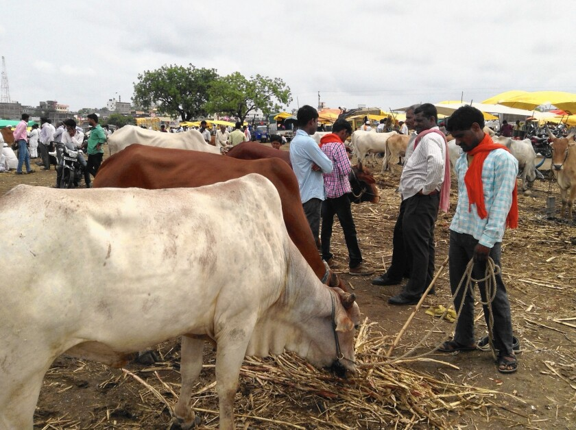 Cattle in India