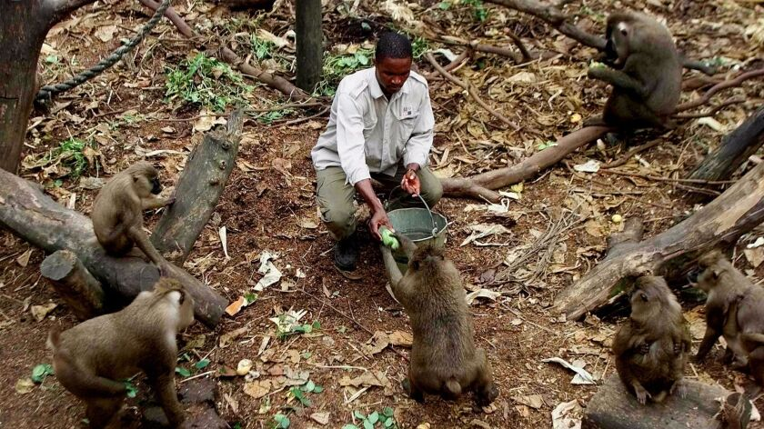 In this file photo, a gamekeeper at the Drill Ranch in Calabar, southeastern Nigeria, feeds mangos to young drills. One of Africa's most endangered primate species, drills are found only in parts of Nigeria, Cameroon and Equatorial Guinea.