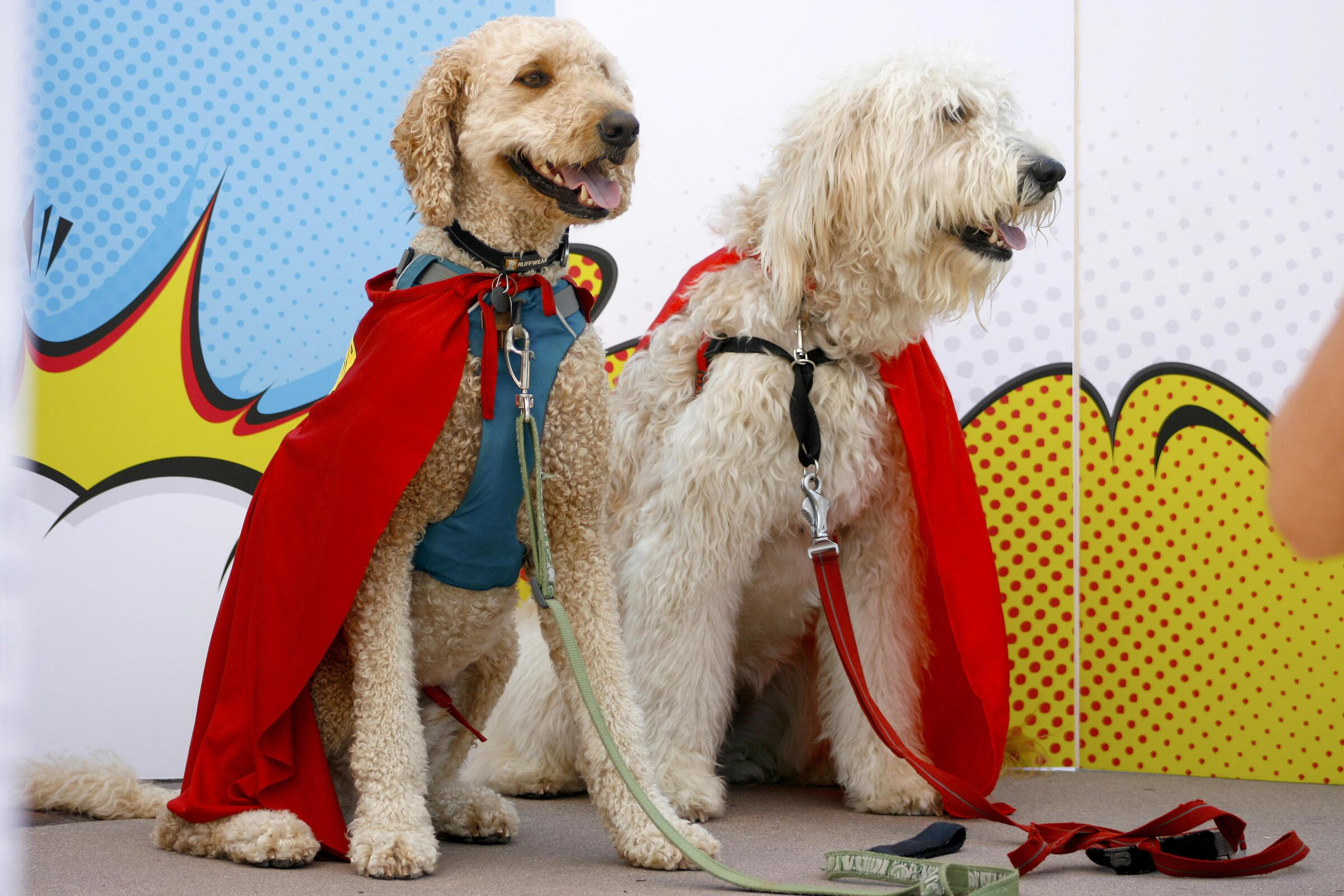 Two dogs dressed up as superheroes at PAWmicon