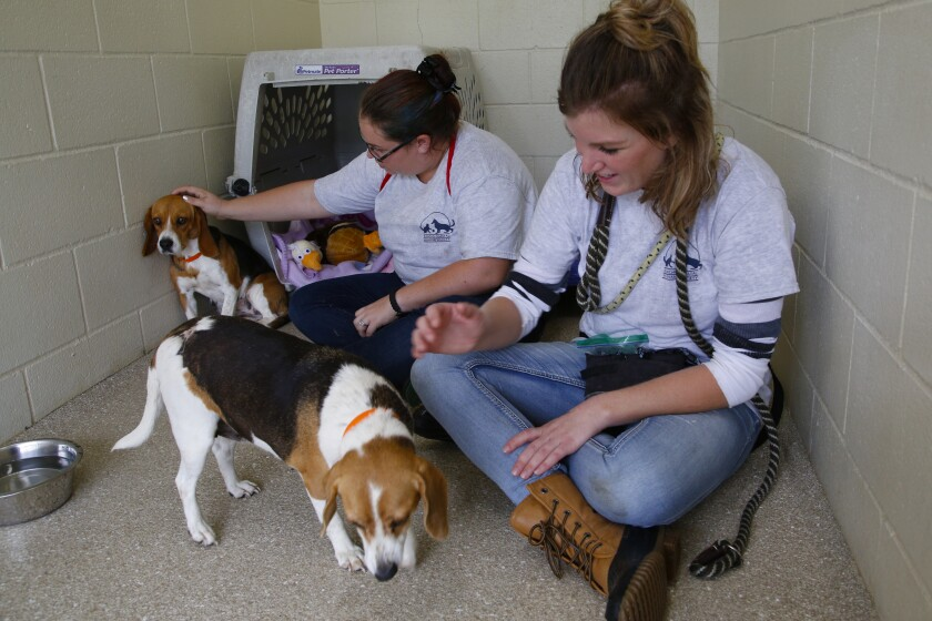 Rescued Beagles settle in San Diego County