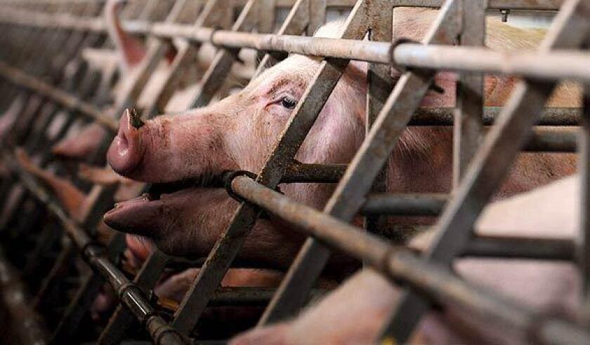 COVID-19 y la gripe porcina son de dos familias separadas de virus.