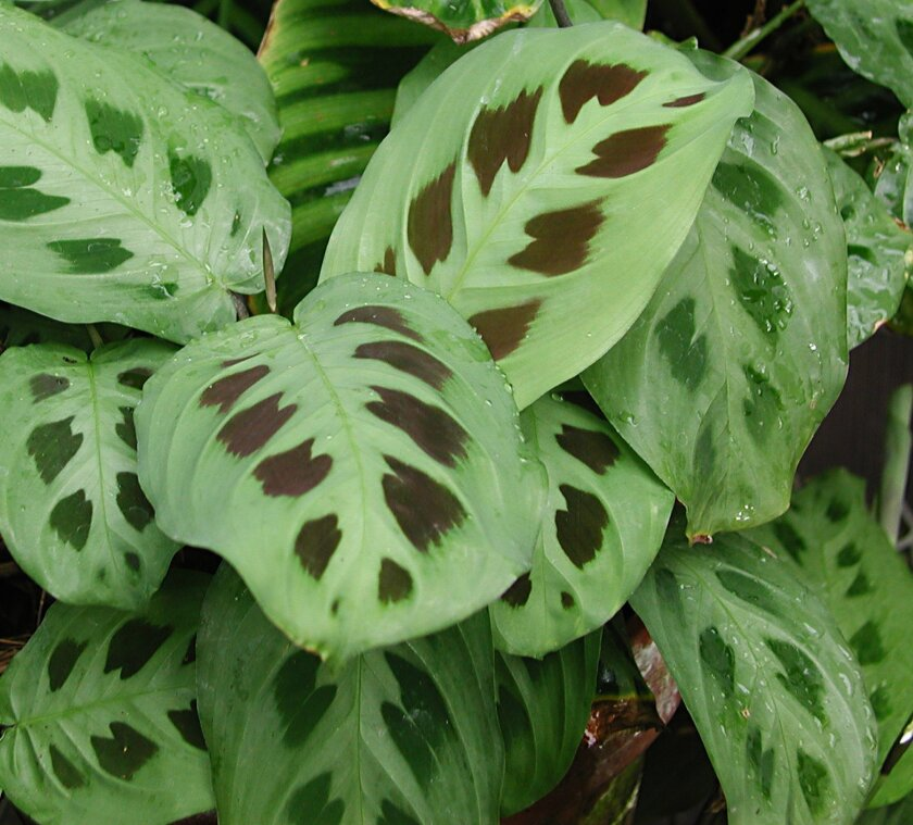 """In this undated photo, a prayer plant (Maranta leuconeura) is shown, a houseplant that tolerates low light levels, """"prays"""" by folding up its leaves each evening, in New Paltz, N.Y. (AP Photo/Lee Reich)"""