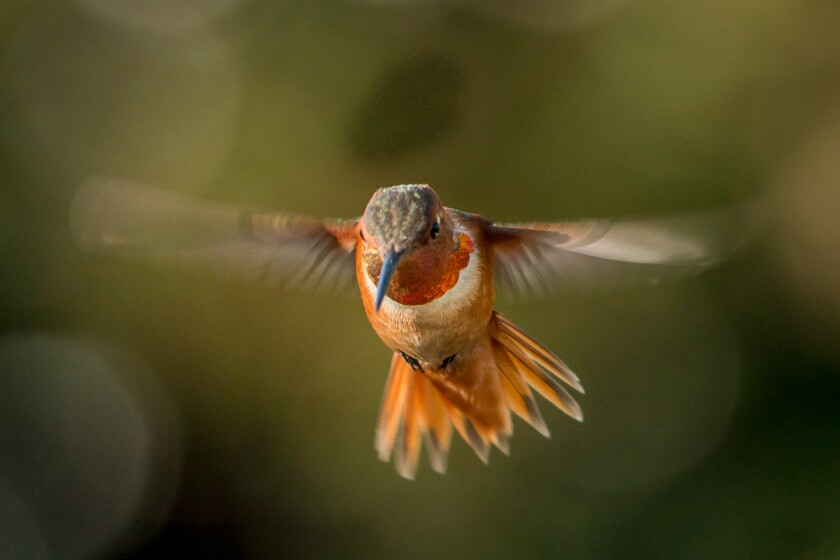 Allen's hummingbirds, which are similar in appearance to the rufous, breed and nest along the California coast.