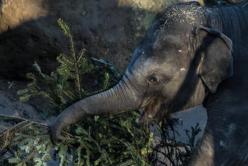 Un elefante asiático saborea las ramas de un árbol de Navidad. EFE/Archivo