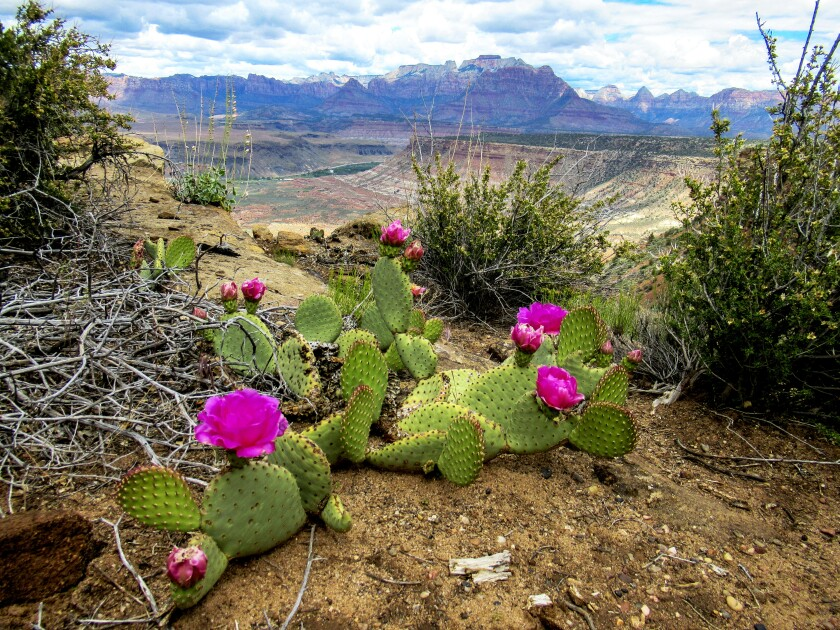 Beavertail cactus flowers at Gooseberry Mesa, Utah.