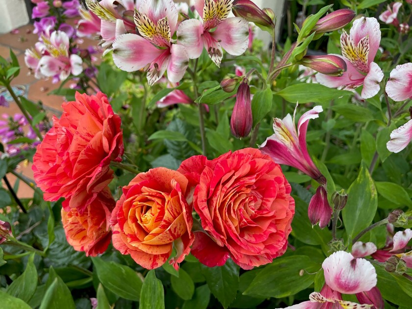 Colorful blooms of floribunda 'Frida Kahlo' are grown with alstroemeria and foxgloves.