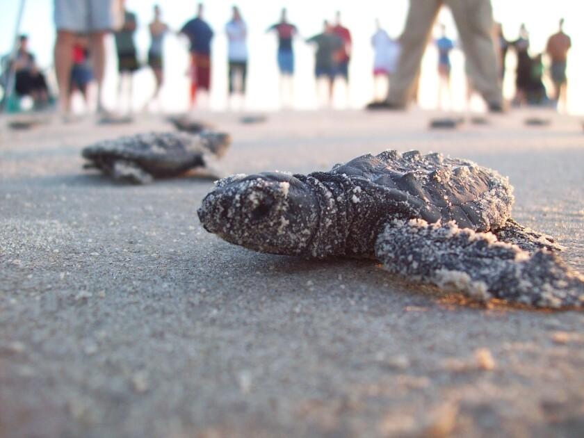 Kemp's ridley sea turtles at Padre Island, off the Gulf Coast of Texas.