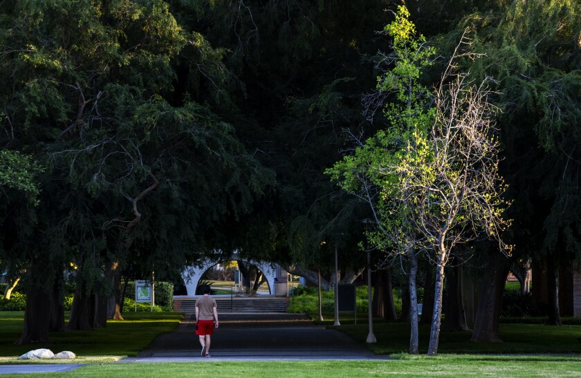 A single person walks under large, dense trees on UC Riverside campus