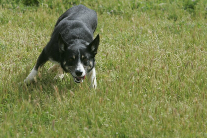 A Border Collie being trained in Escondido.