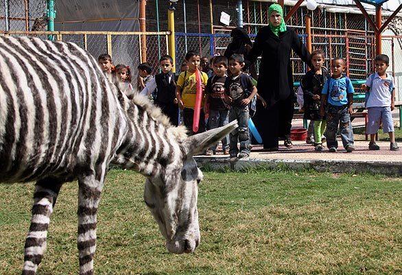 la-fg-zebras01-kr75h7nc