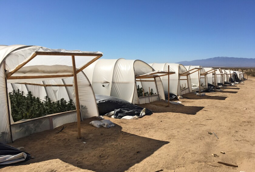 This shows marijuana plants inside an illegal grow operation in the Antelope Valley.
