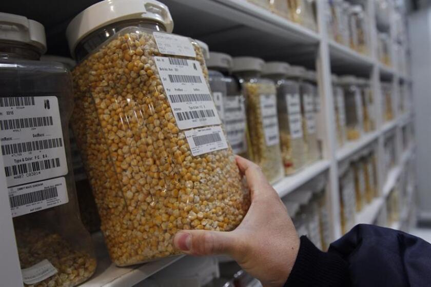 Fotografía de envases con semillas en las instalaciones del Centro Internacional del Mejoramiento de Maíz y Trigo (CIMMYT) el 28 de septiembre de 2018, en Ciudad de México (México). EFE