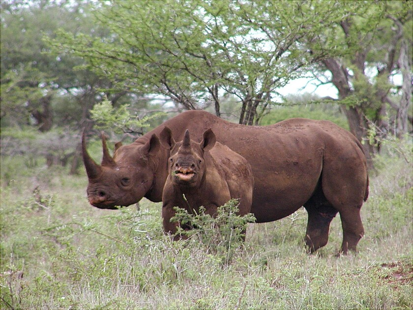 A 2003 photo shows a black rhino male and calf in Mkuze, South Africa.