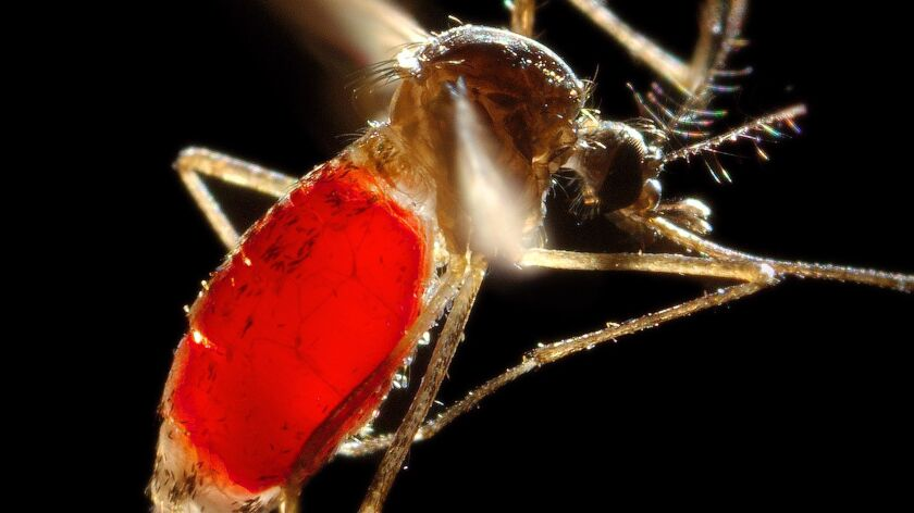 With a newly-obtained blood meal visible through her transparent abdomen, a female Aedes aegypti mosquito takes flight as she leaves her host's skin surface. These mosquitoes can carry Zika and other viral diseases.
