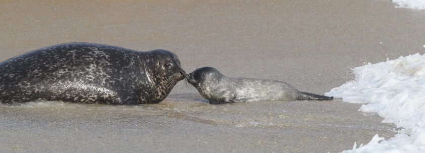 Harbor seal lovers noted the first birth of the year at the La Jolla Children's Pool on Monday, January 23.