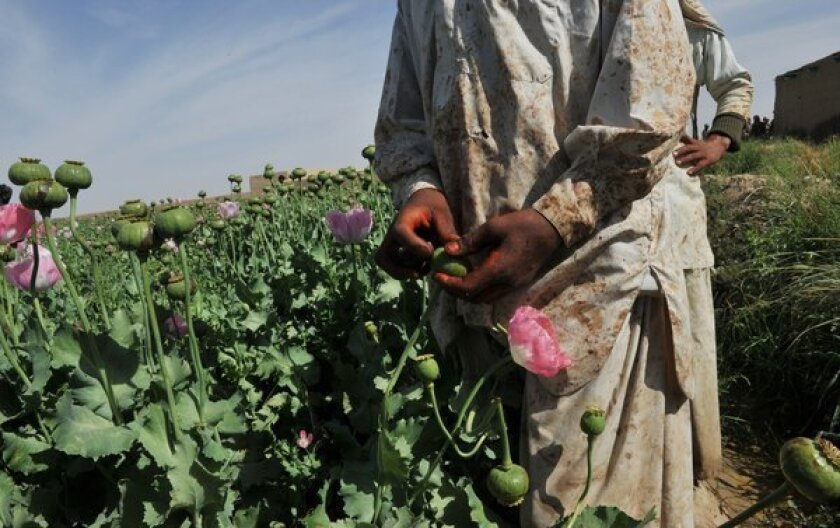 More Afghan land cultivated for opium poppies, U.N. finds