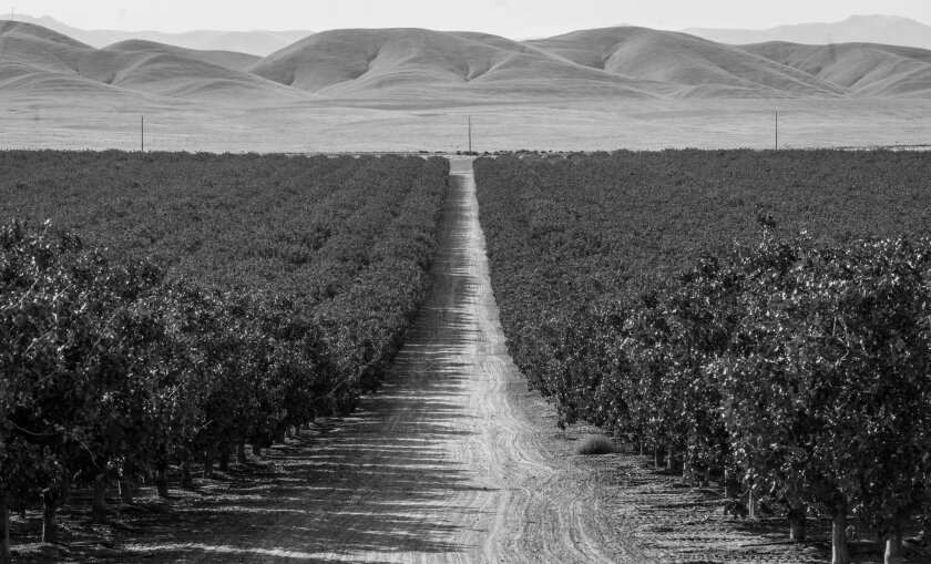 """A pistachio orchard in western Kern featured in the book """"The Dreamt Land,"""" by Mark Arax. Credit: Jo"""