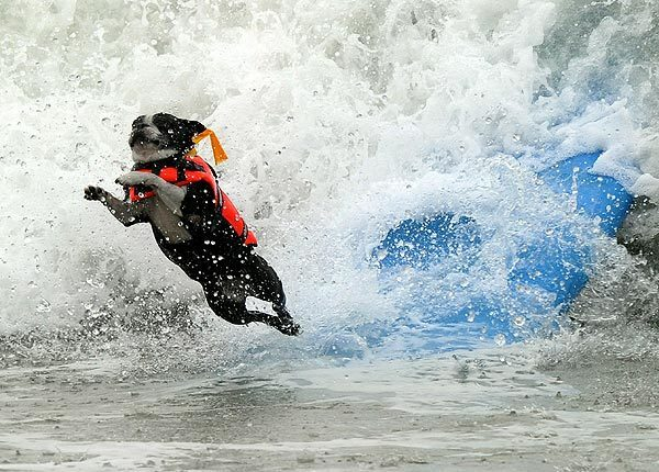 A cascading canine wipes out during the annual Surf City Surf Dog competition in Huntington Beach.