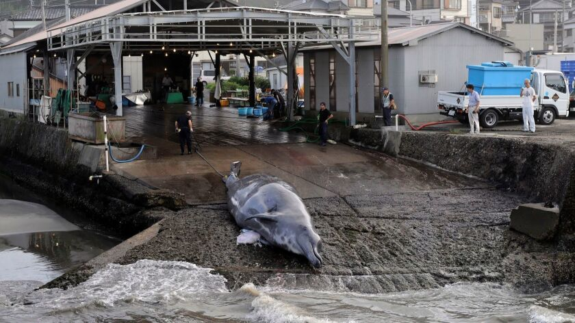 A Baird's beaked whale is pulled out of the water at a slaughterhouse in Wada Port, Japan, in 2009.