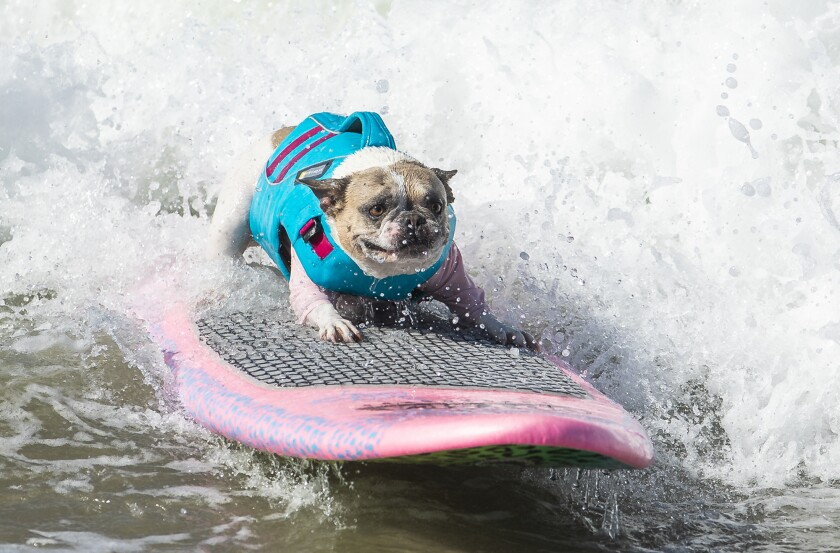 Cherie, a French bulldog from Newport Beach, rides a wave in Huntington Beach last weekend. She won the World Dog Surfing Championships earlier this month in Pacifica.