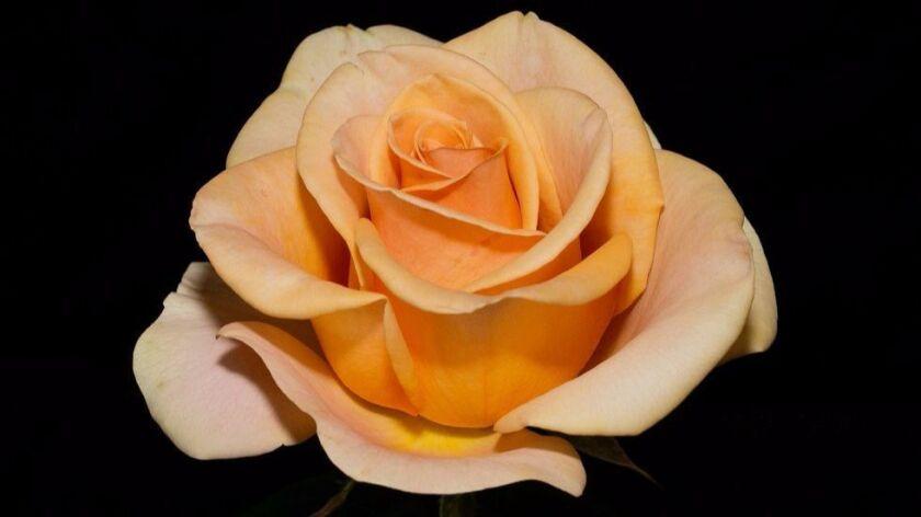 Marilyn Monroe, a Tom Carruth hybrid tea, is a gorgeous creamy apricot beauty.