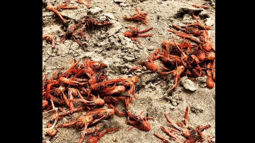 Red tuna crabs washed onto Huntington Beach.
