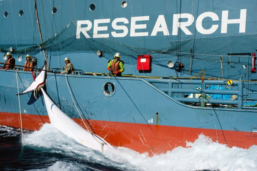 The United Nations' International Court of Justice has ordered Japan to end its annual Antarctic whale hunt, saying in a landmark ruling that the program was a commercial activity disguised as science.